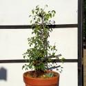 Prunus mahaleb 1 Bonsai Cerezo de Santa Lucia maceta de entrenamiento