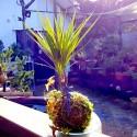 Kokedama dracaena Planta en musgo