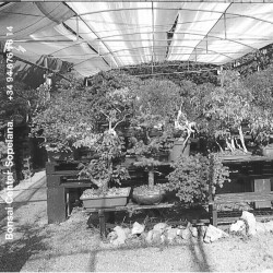 Bonsai Center Bilbao Fondos Pantalla en Blanco y Negro