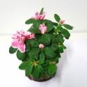kokedama de azalea rosa y blanca mini