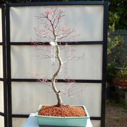 Acer palmatum deshojo en maceta verde rectangular
