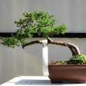 Alerce Bonsai Larix dedicua en maceta marrón rectangular