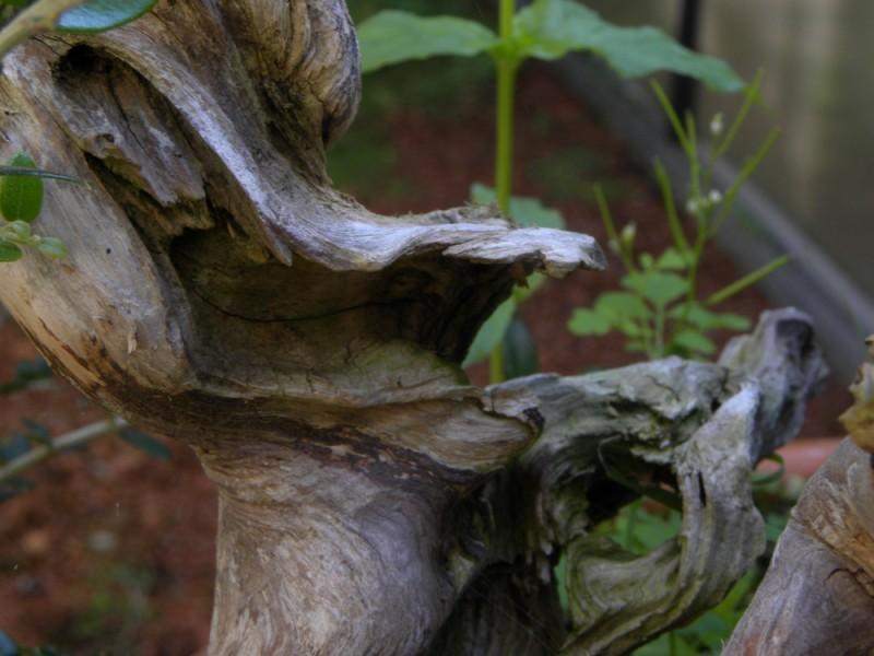 Shari. Maderas muertas del Bonsai