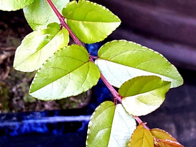 Detalle de las hojas. Son alternas y los brotes rojizos