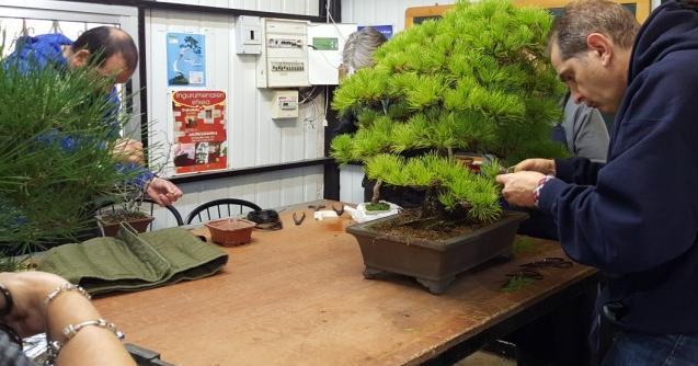 Clase de bonsai nivel avanzado