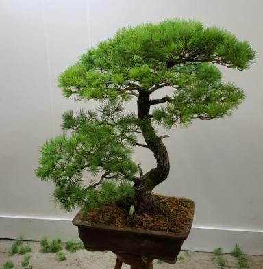 Clase de bonsai. Limpieza en coníferas