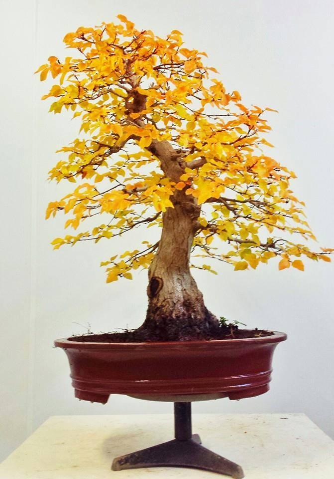 carpe Bonsai 76 cm de altura y 24 cm de nebari