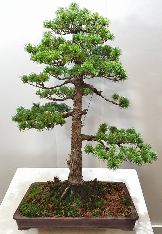 bonsai recto formal, conifera