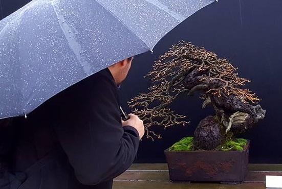 Fotografia de un alerce realizada por bonsai bilbao y bonsai center sopelana