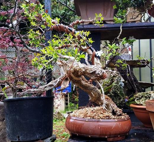 #BetiConsejo: Vigila con lupa tus bonsais de Boj.