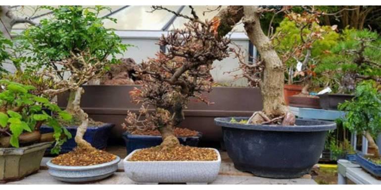 Tener y cuidar un bonsai no es lo mismo que diseñar un bonsai.
