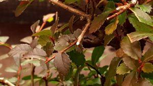 Efectos del frío súbito en los bonsais.