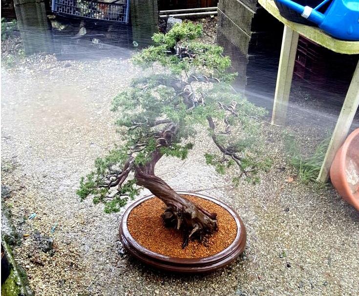 El dilema de las raíces del bonsai – Recordando