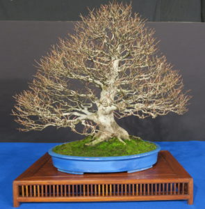 TROPHY BONSAI 2019- The trees.