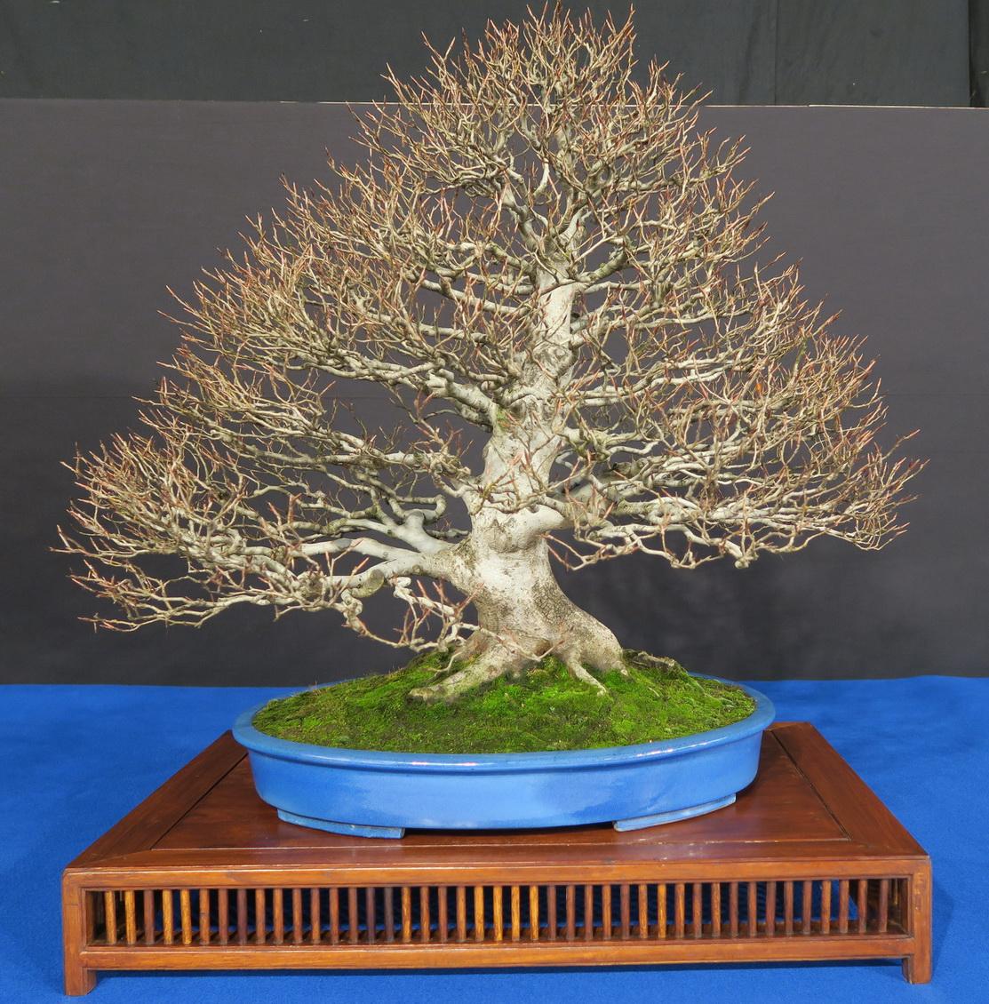 TROPHY BONSAI 2019- The trees.