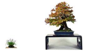 Haya, uno de mis bonsáis favoritos.