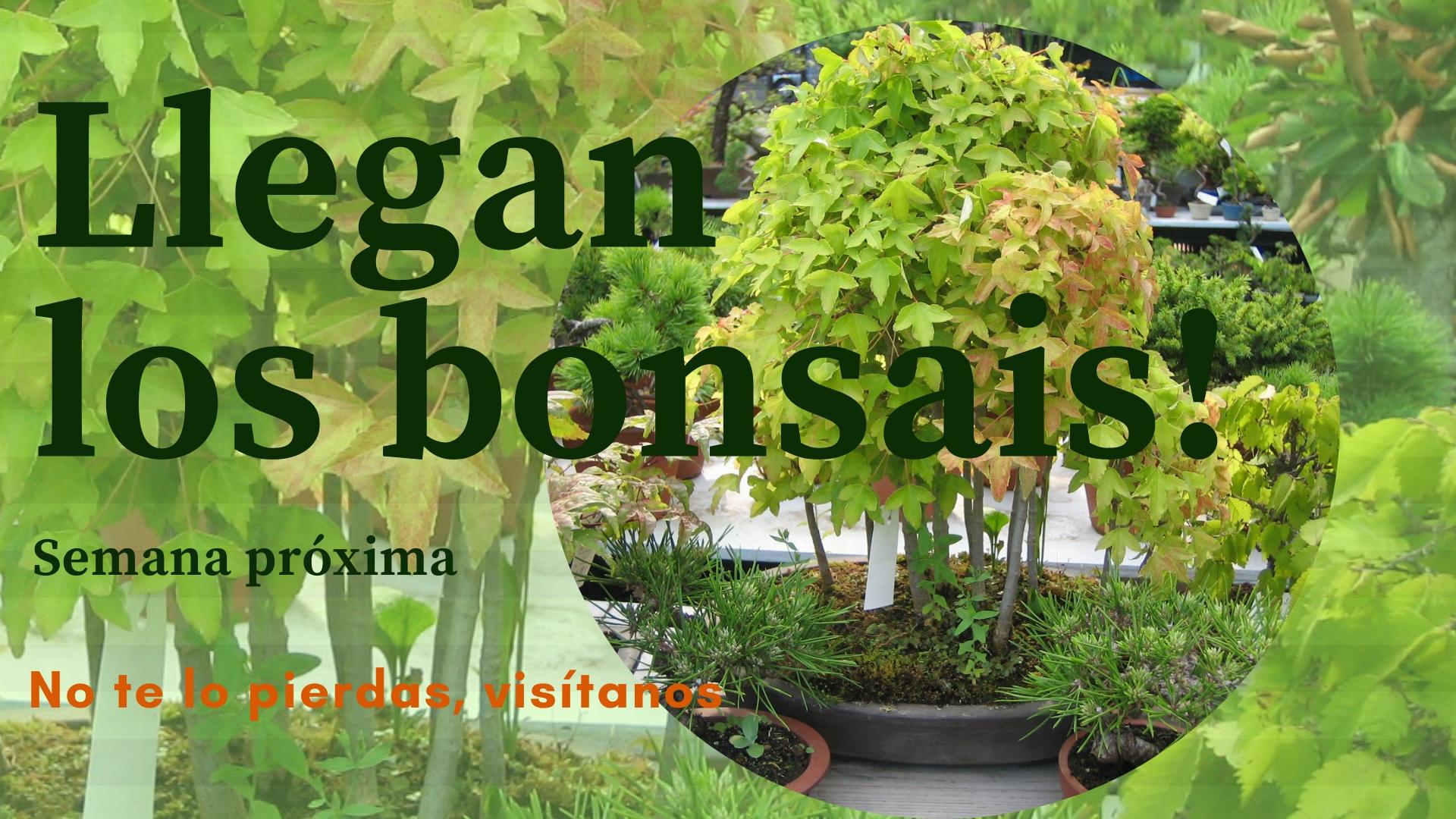 Llegan los bonsais.