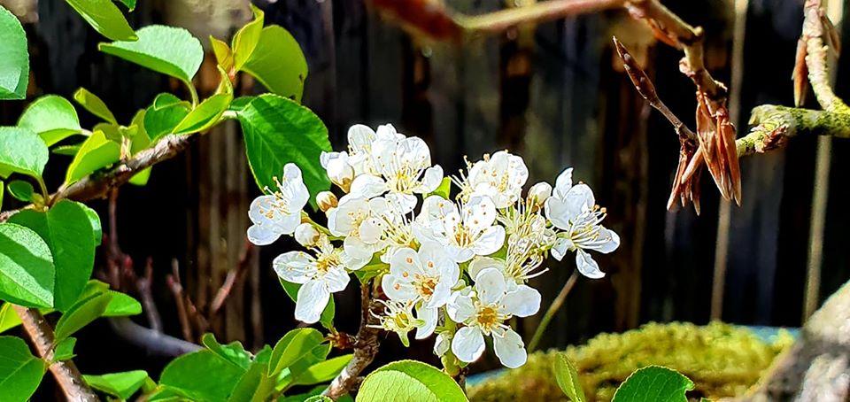 ABRIL: Mantenimiento general de tu bonsai