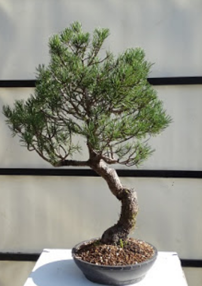 bonsai pino en bonsai center