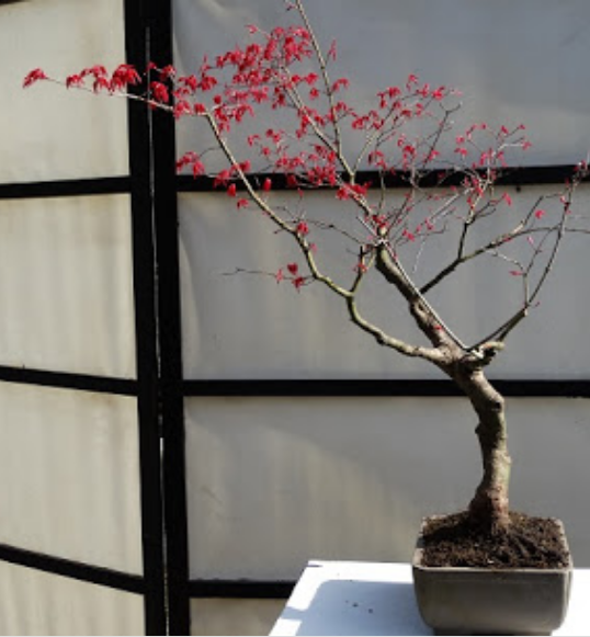 bonsai arce en bonsai center